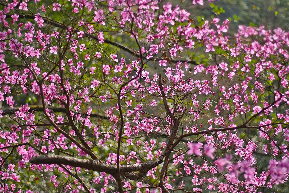 4月にもなれば宮崎県でも各地でツツジの花に山が彩られる
