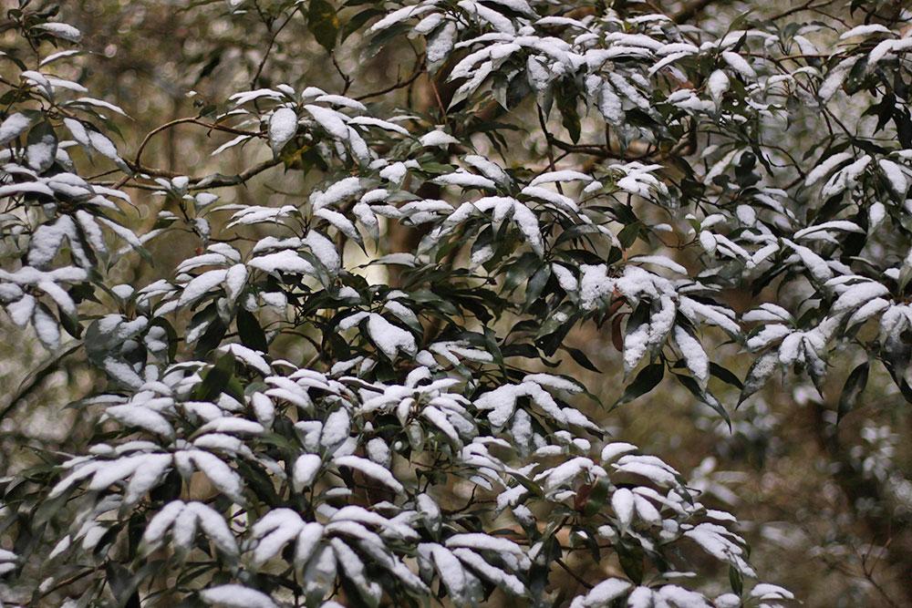 常緑樹を覆う白い雪