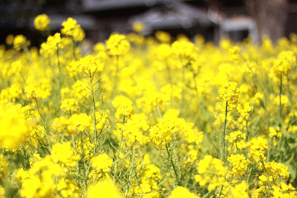 菜の花を眺めて疲れを癒す