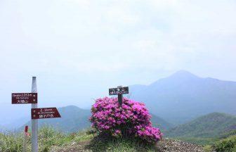 大幡山山頂のミヤマキリシマ