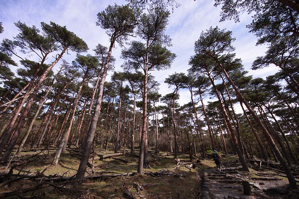 歩いて楽しいアカマツの森