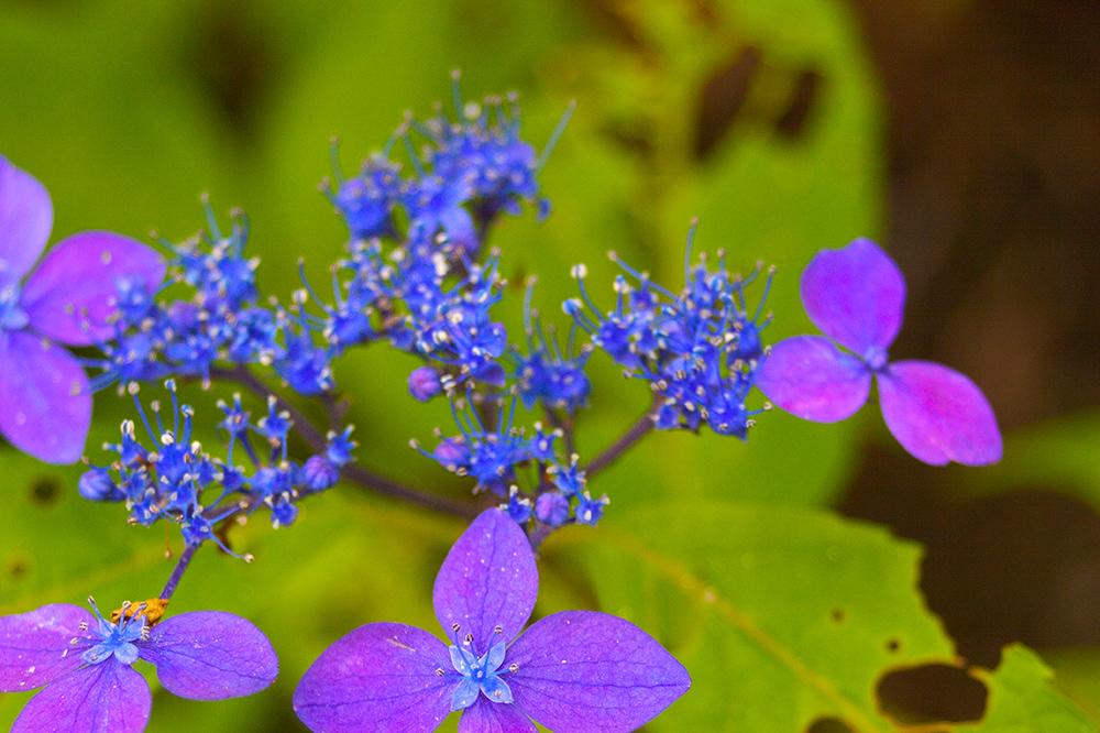 この日は山紫陽花も綺麗でした@天孫降臨コース