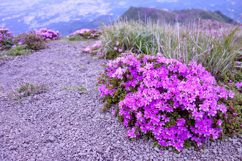 高千穂峰では5月中下旬から6月上旬にかけてミヤマキリシマも楽しめます