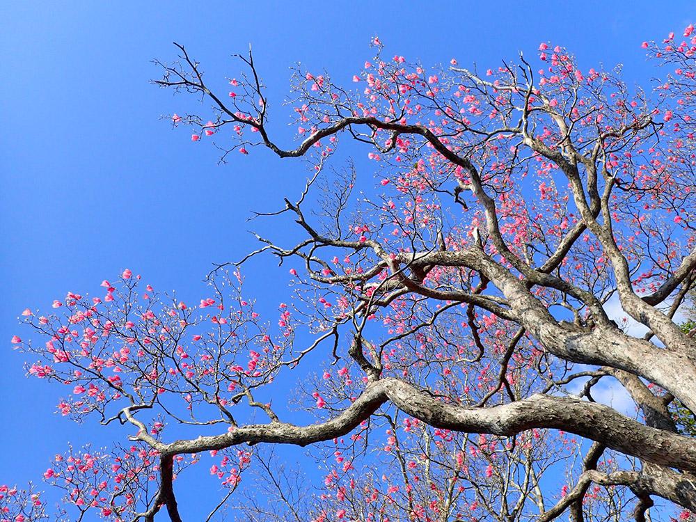 アケボノツツジは終わりかけているがミツバツツジは綺麗だそうです