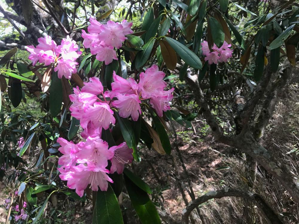 ちょうど見頃を迎えていたシャクナゲの花
