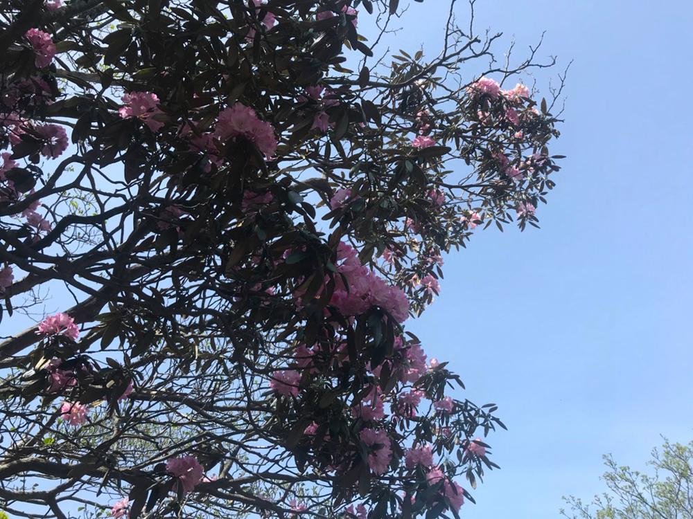 青空に映える美しいシャクナゲの花