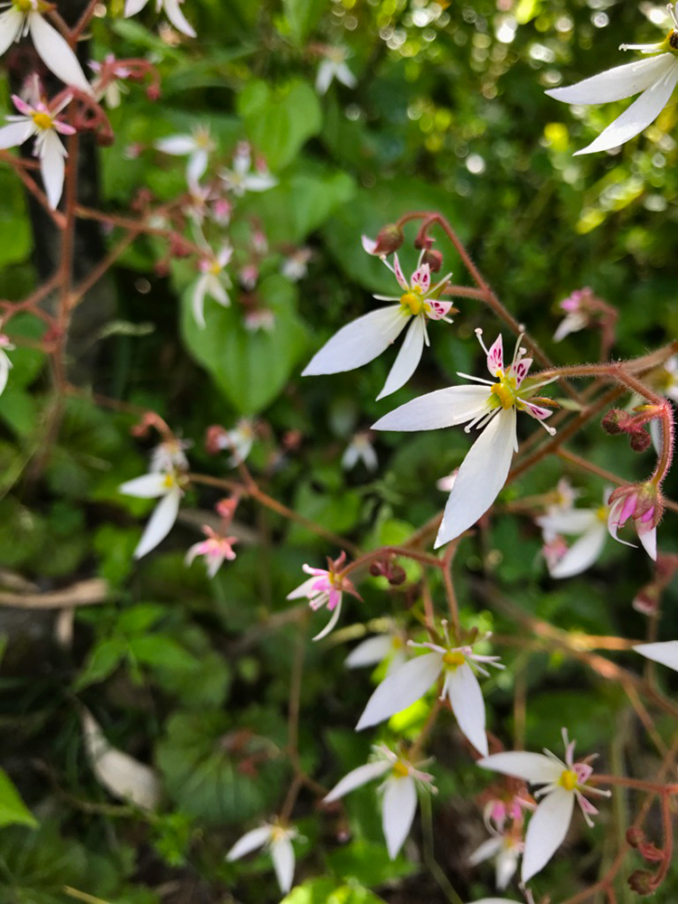 独特な花の形が可憐なユキノシタ