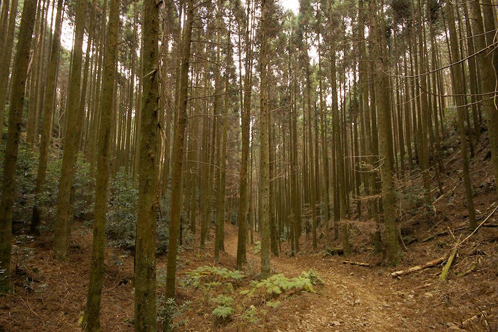 前半は手入れされた杉林の中を歩きます