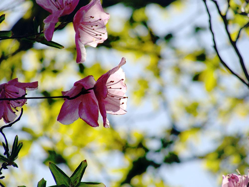 春4-5月頃の人気の花「アケボノツツジ」