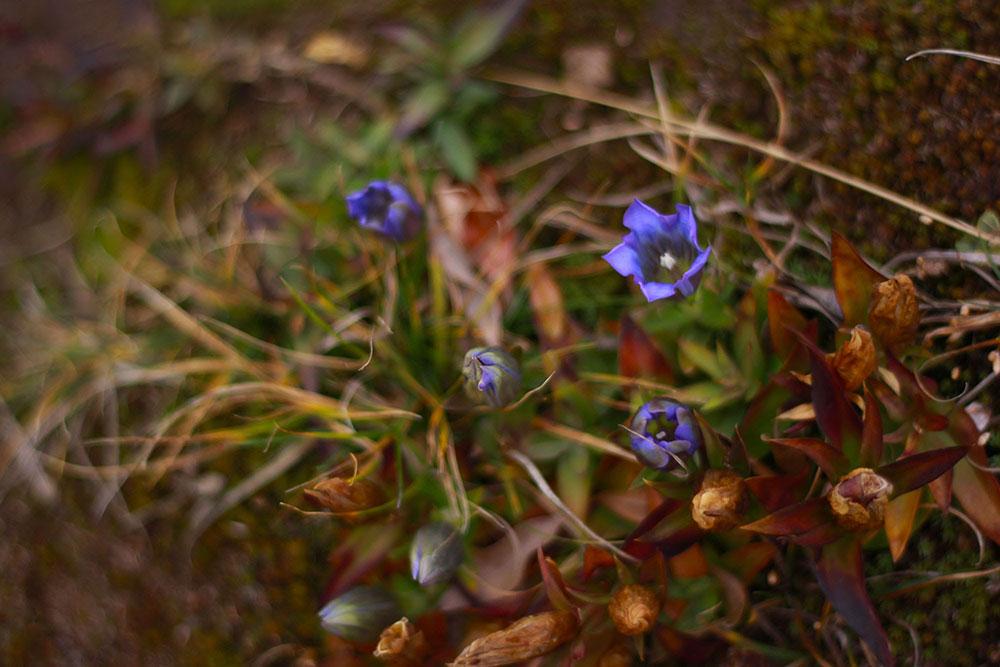 これからの季節にも見つけられるリンドウの花