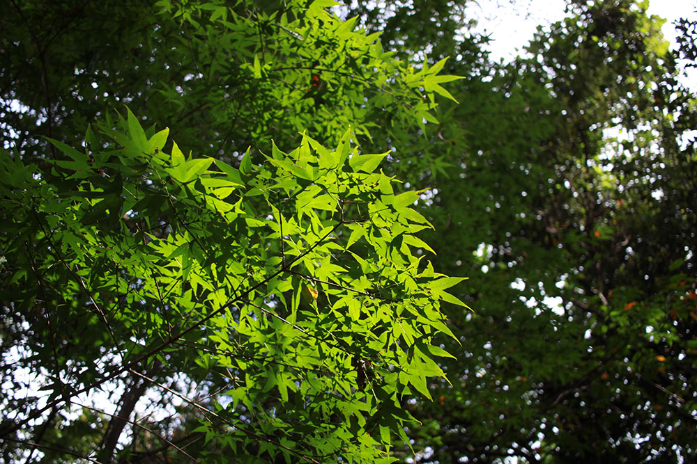 見上げると美しい緑