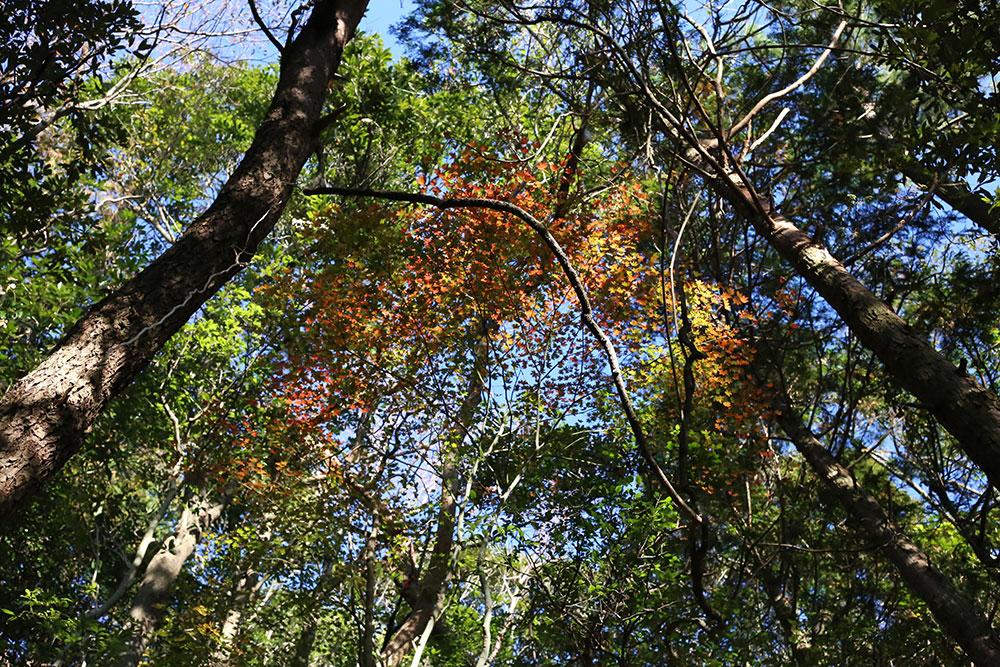 数少ない紅葉する樹木