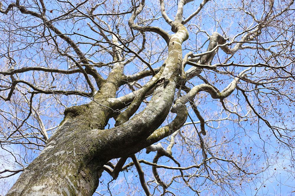巨木も葉を落とし冬の様相に