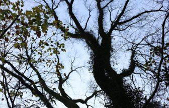 巨木を眺めてみたり
