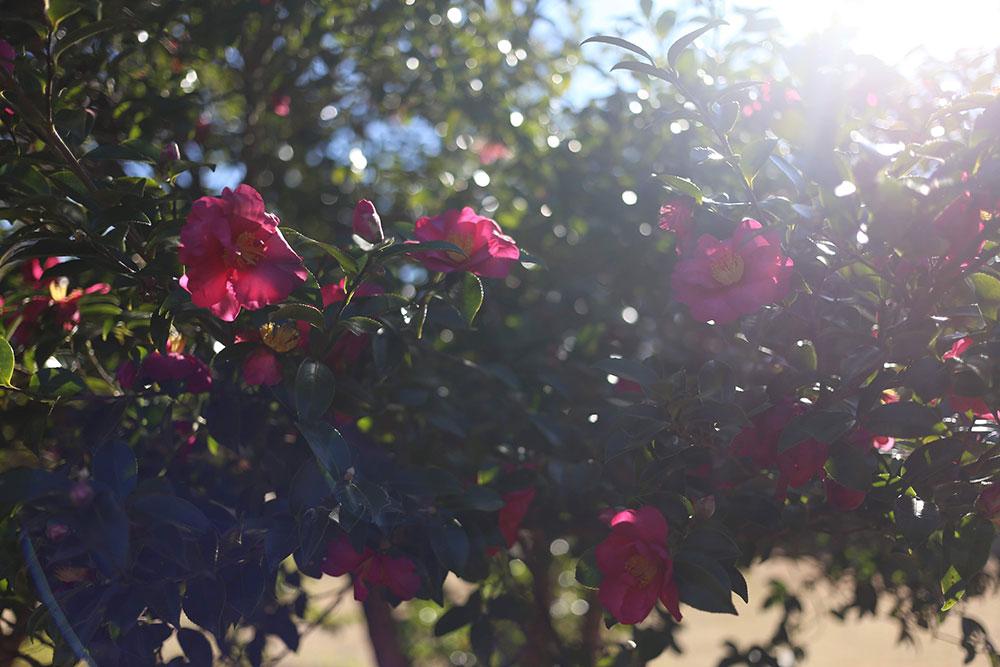太陽の光と椿の花