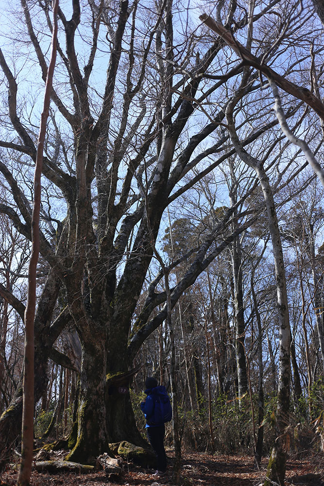 黒岳山頂手前のブナの大木