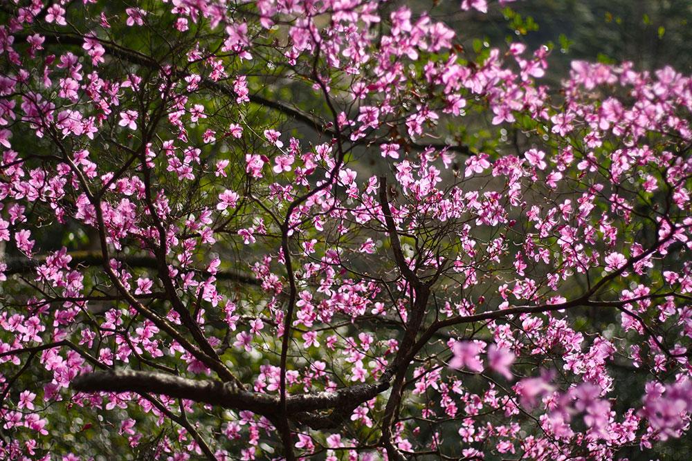 ミツバツツジ(昨年の花です)