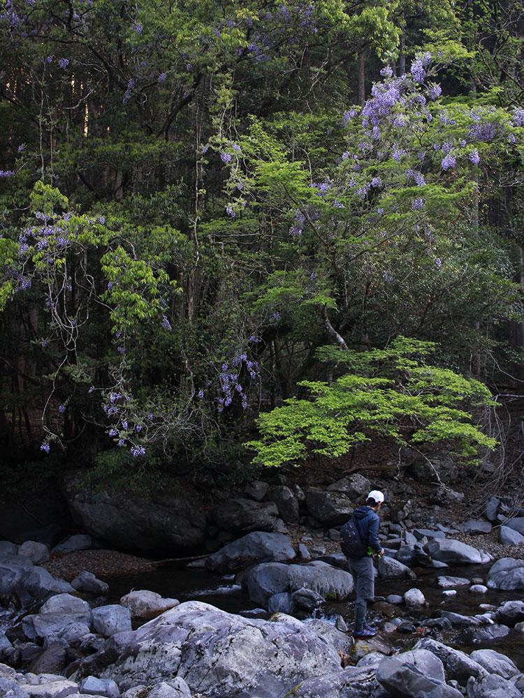 藤の花と朝の谷