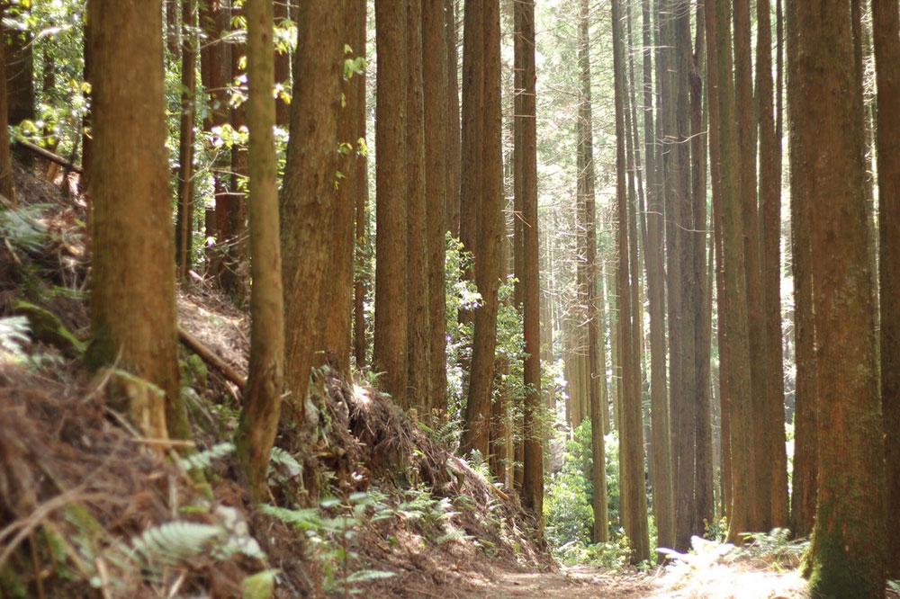 こんなに綺麗に見える杉林