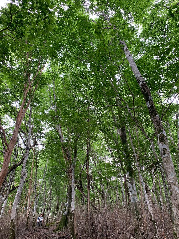 美しい原生林の姿と夏の緑