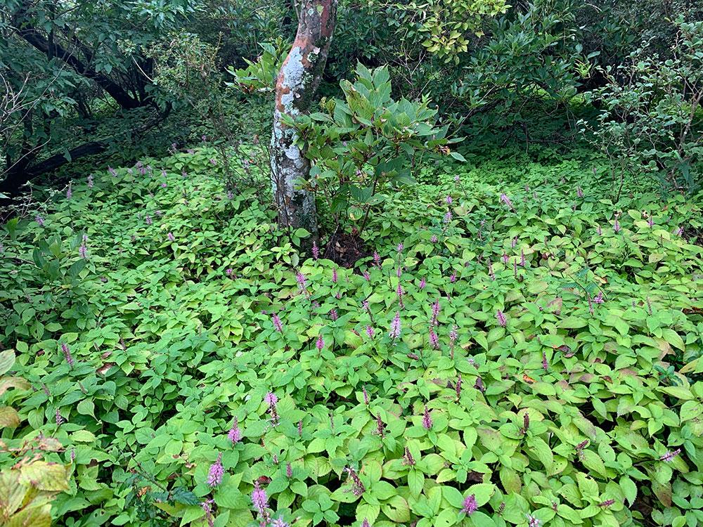 群生地に咲くミカエリソウ