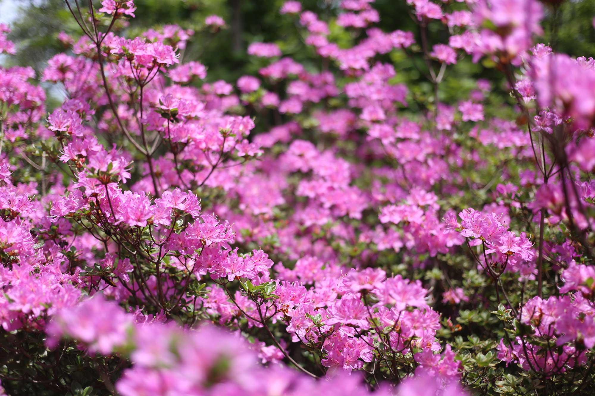 大幡山のミヤマキリシマ