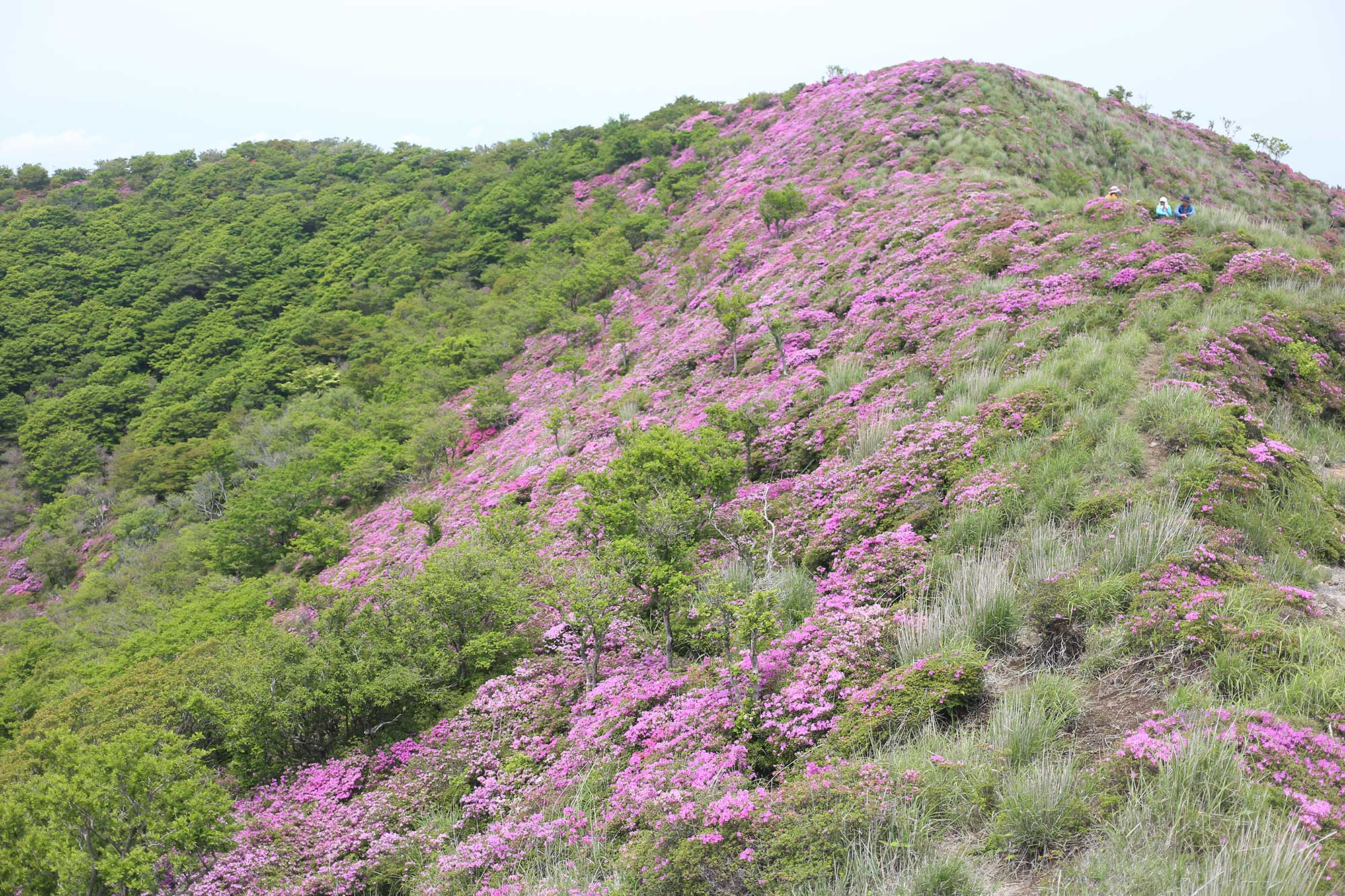 大幡山の稜線のミヤマキリシマ