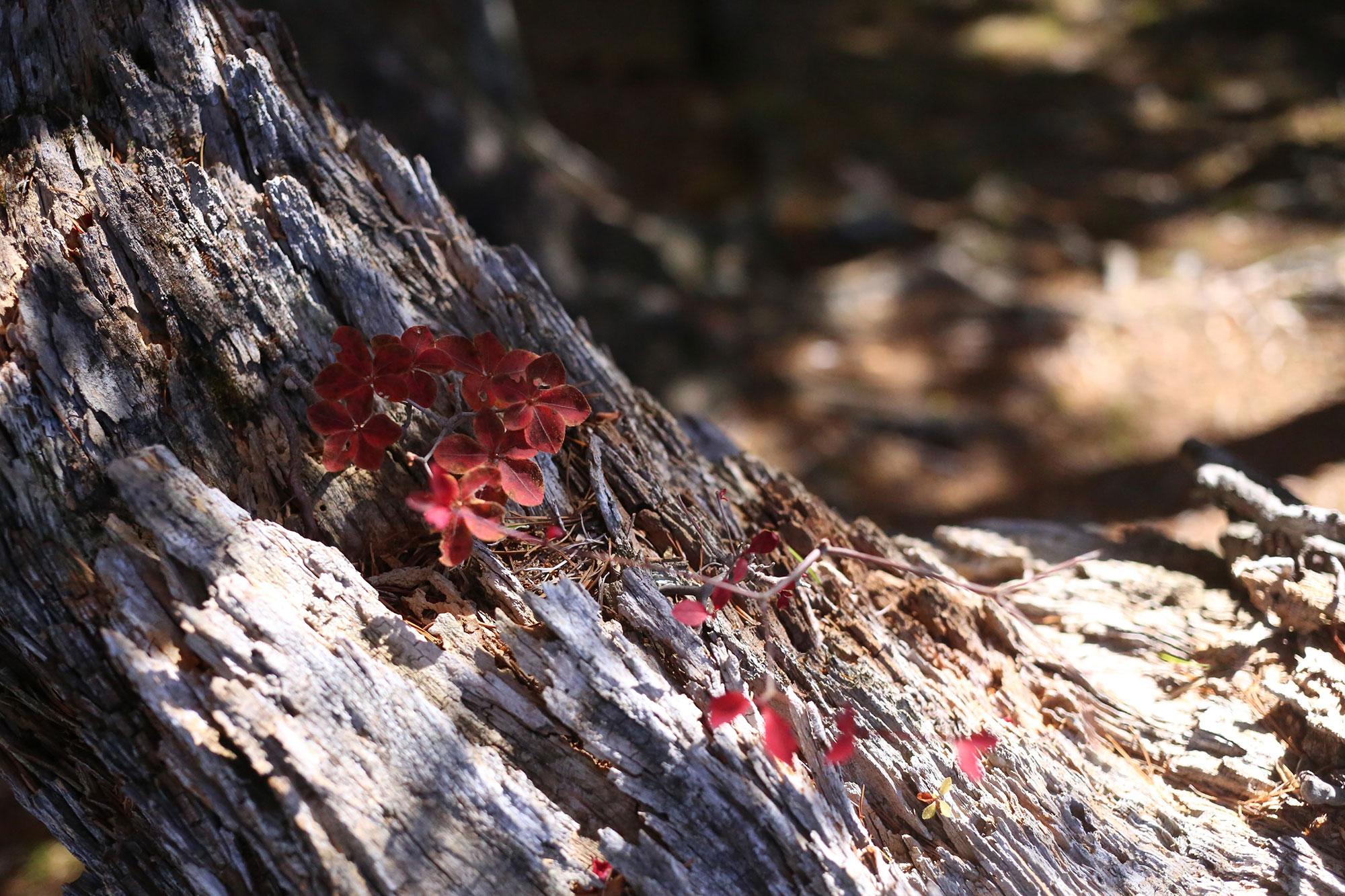 大崩山で見つけた紅葉