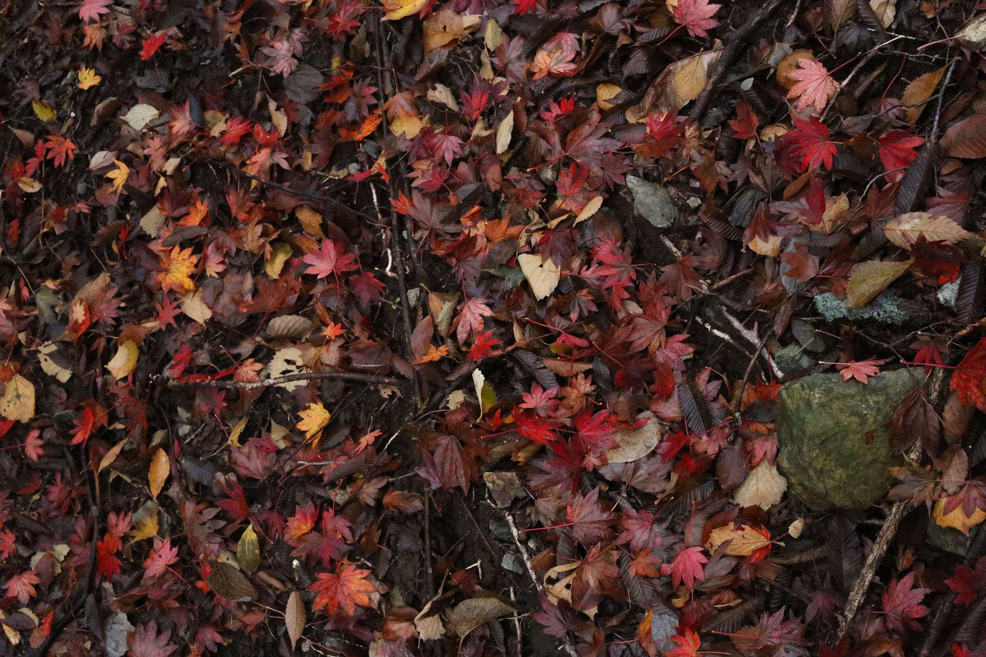 足元に落ちた紅葉の葉