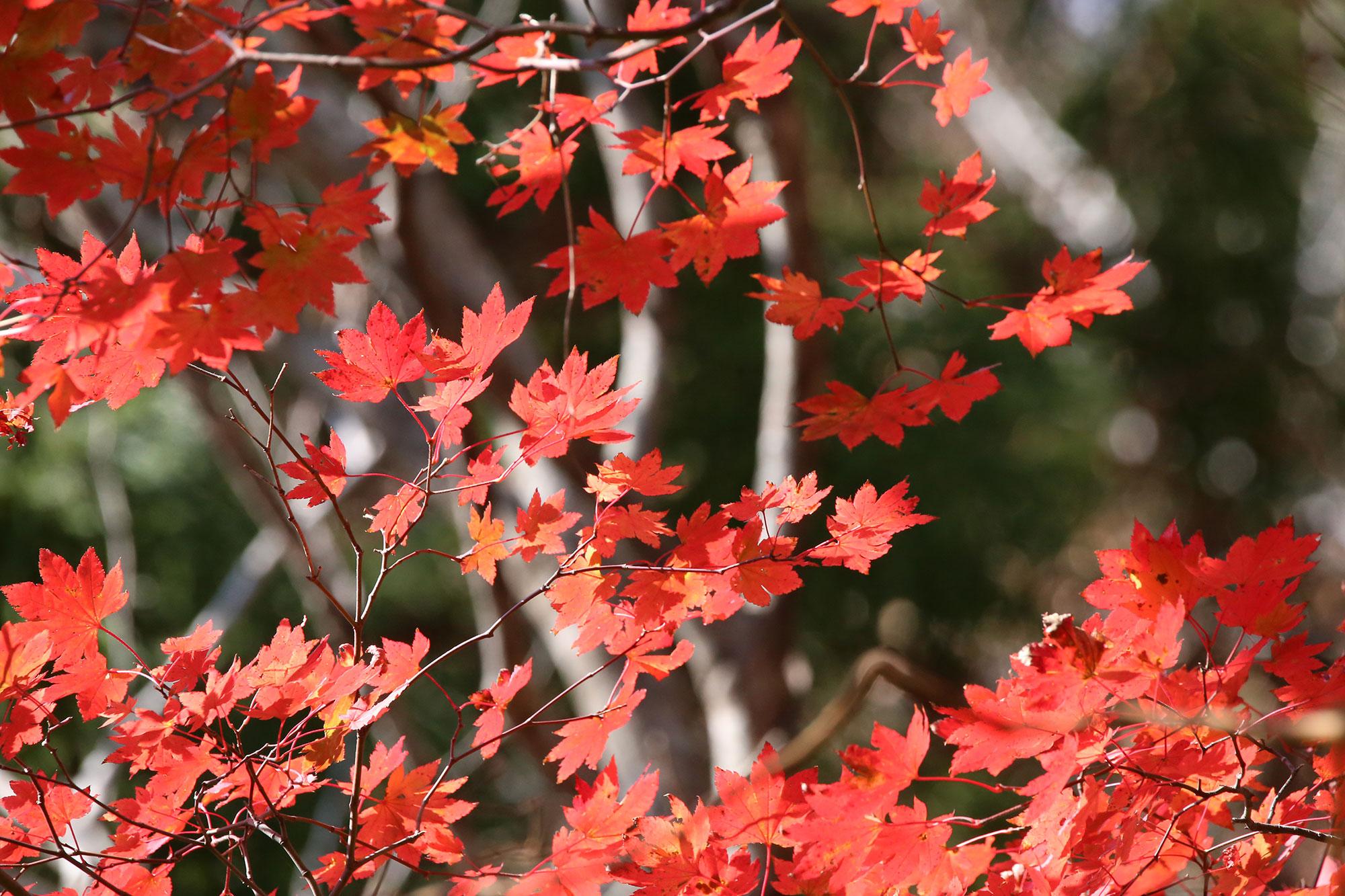 傾山の紅葉