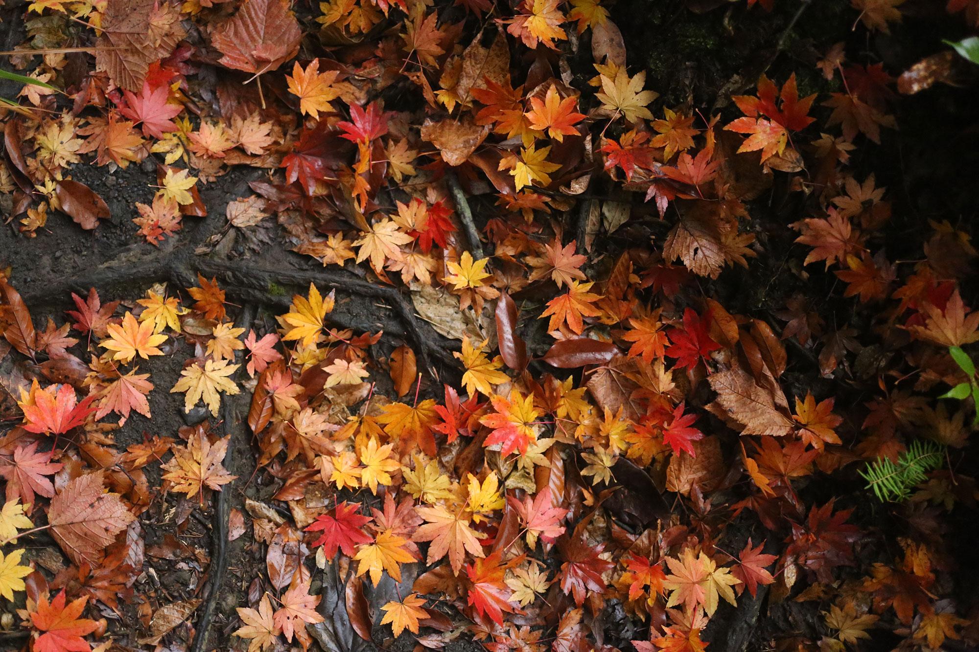 登山道に落ちた紅葉