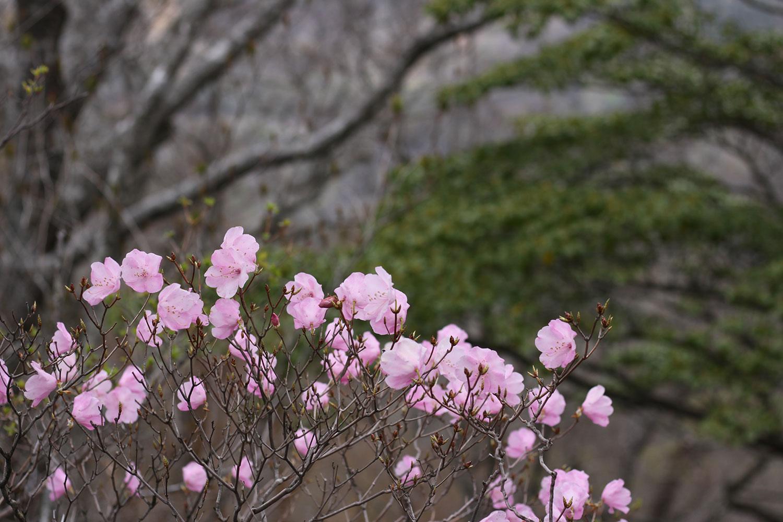 お化粧山付近のアケボノツツジ