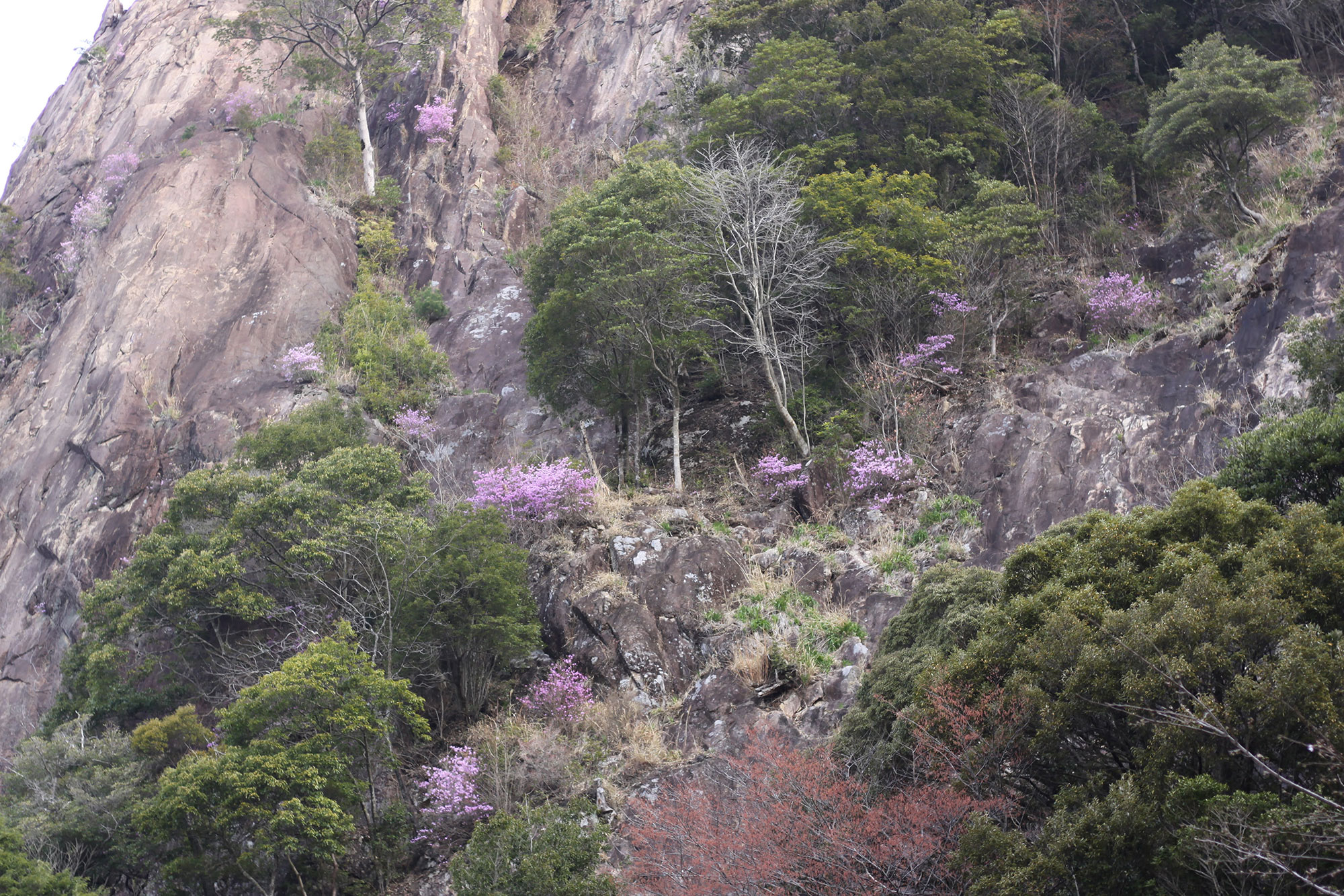比叡山の岩場に咲くミツバツツジ