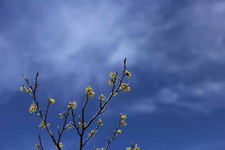 青空とマンサク