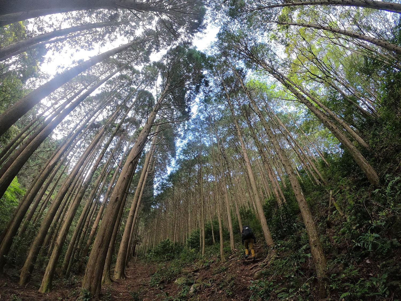 杉林の中をグイグイと上がります