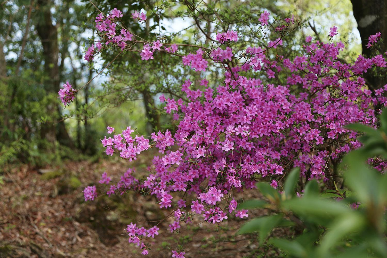 登山道沿いに咲くツツジの花