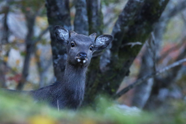 山で出会った仔鹿