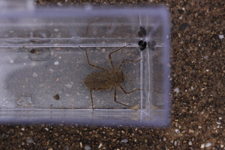 コヤマトンボの幼虫(ヤゴ)