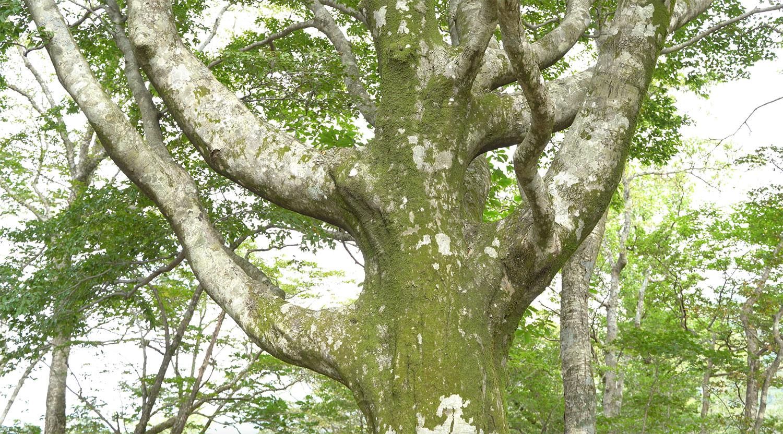 立派な巨木もたくさん