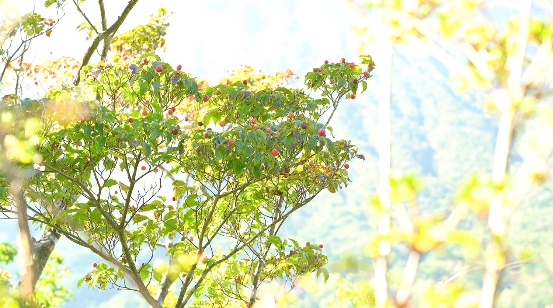 赤く熟れた実は甘いヤマボウシ