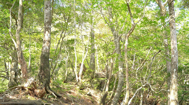 急登終盤の原生林